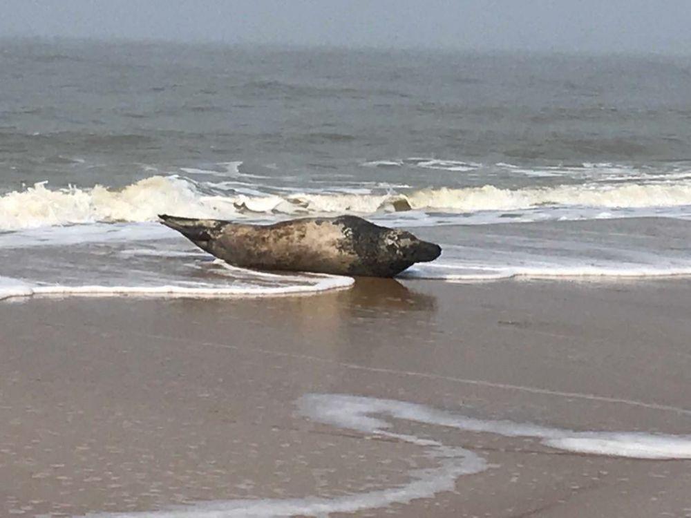 Roven zeehonden ons visbestand leeg? Ja zeggen vissers, neen zeggen biologen - Focus en WTV